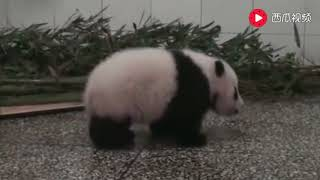 The panda will also fight? The most advanced animals in China are so cute.