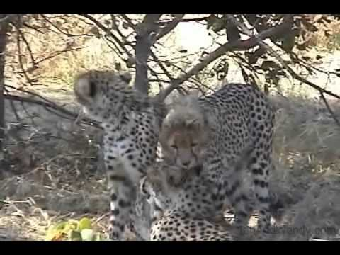 Moremi Wildlife Reserve Cheetahs clean themselves after losing their kill to a lioness.(Botswana)