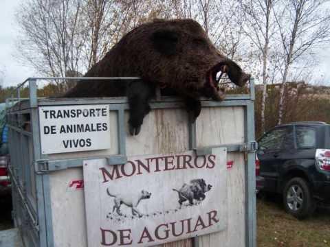 CAÇA AO JAVALI  EM ORENSE ( ESPANHA )EQUIPE DE CAÇA MONTEIROS DE AGUIAR