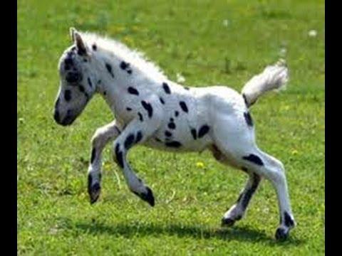 los caballos mas lindos y pequeños del mundo