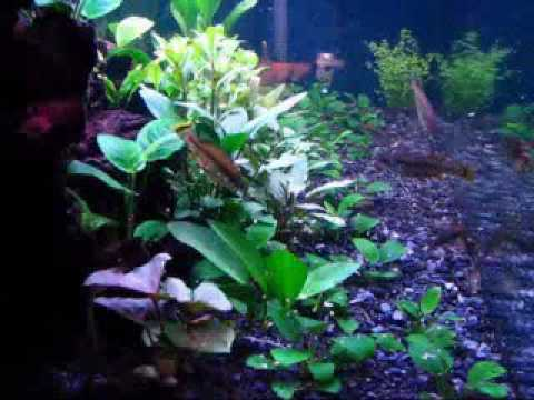 Goodeids videolike Livebearer aquarium fish