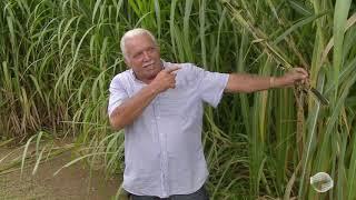 Capim gigante chega ao Piauí para revolucionar a pecuária