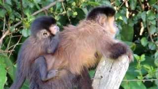 Mamãe macaco-prego  e seu filhote.