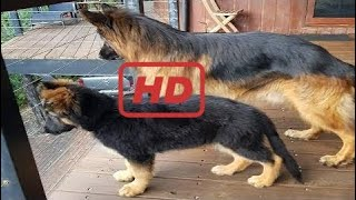 Funniest & Cutest German Shepherd Puppies #9 - Funny Dogs Compilation 2018
