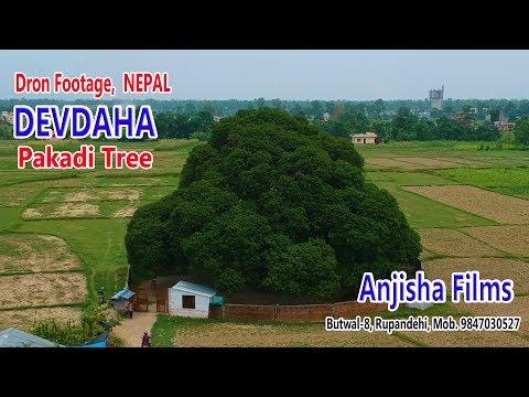 Drone Footage Pakadi Tree Devdaha 2075 thumbnail