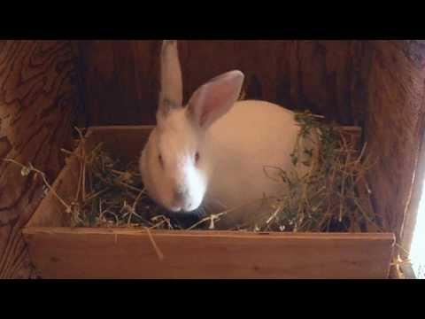 Rabbit Prepare For Birth (Making Nest)