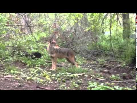 Red Wolf Howl video
