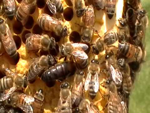 queen bee laying eggs - photo #24