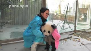 Panda keeper wipes the cub