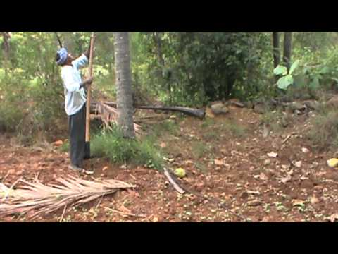 Coconut plantation process and natural way of making Ball copra in tiptur region