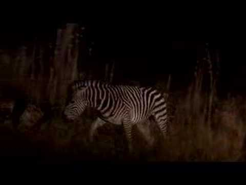 Zebra stallion fights to the death