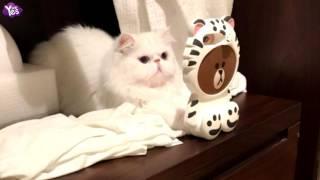 李晨和范冰冰愛貓視頻 范冰冰稱父女情深露玄機