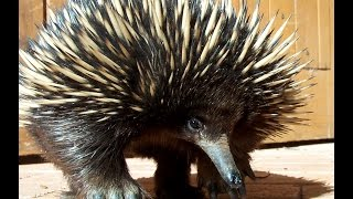 Echidna - My animal friends - Animals Documentary -Kids educational Videos