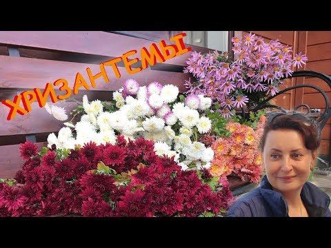 Хризантемы  - Сад Людмилы Кудасовой