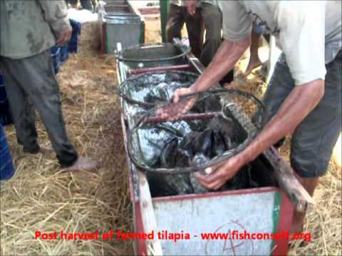 Post harvest practices of farmed tilapia in Egypt.