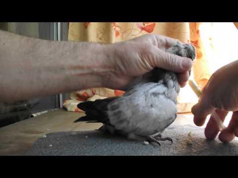 Как выкормить птенца голубя в домашних условиях