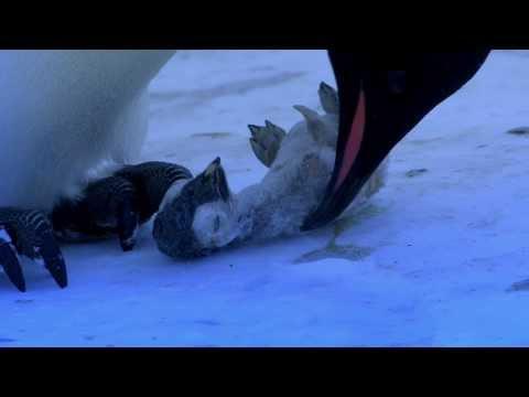 The Most Emotional Clip We've Ever Filmed - Penguins Mourning