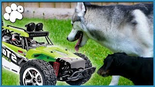 DOGS vs. RC TOY CAR! (Who Will Win?!)