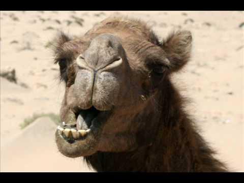 Ali Osram ft Evert Baptist -  Een kameel dat is zo Gek nog niet
