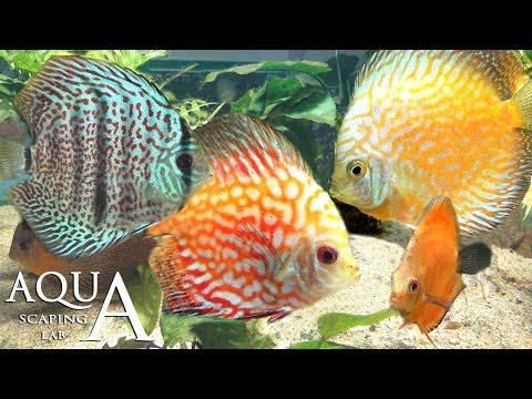 Symphysodon videolike for Pesce discus