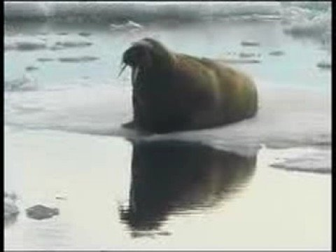 Walrus at 81N, Svalbard Norway