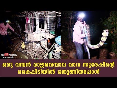 A huge King Cobra surrenders to Vava Suresh | Kaumudy TV