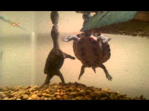 Baby snapping turtle and red eared sliders eating