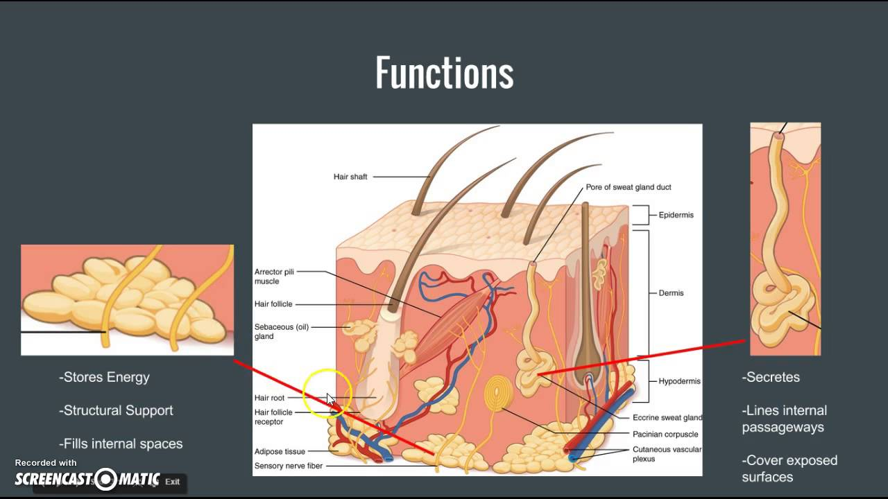 Anatomy connective tissue