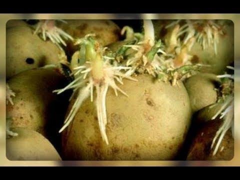 Что можно сделать с подмороженным (замороженным) картофелем