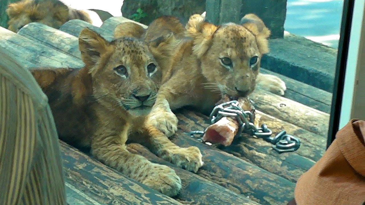 ライオンの画像 p1_16
