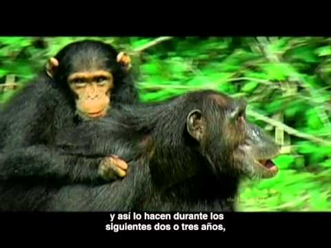 Mamá y bebé chimpancé