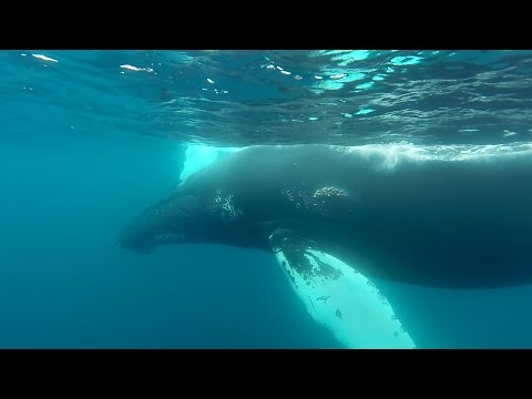 Gopro  Snorkeling With Humpback Whales