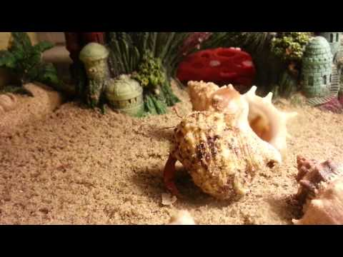 Hermit crab changing shells, 1st time caught on film!!