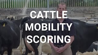 Cattle mobility scoring
