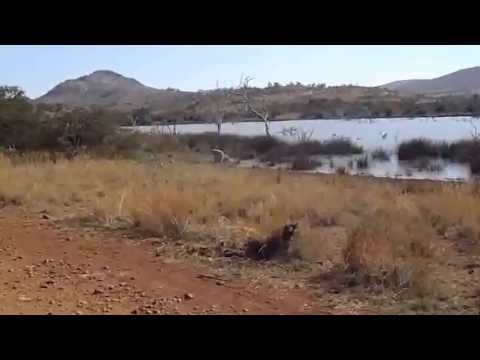 Lion Attacking Zebra video