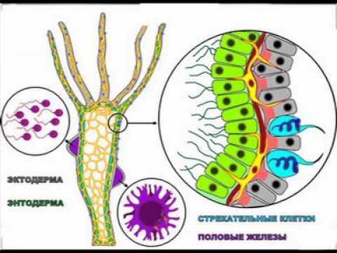 Клас гідрозої гідра, як і інші кишковопорожнинні,- хижак
