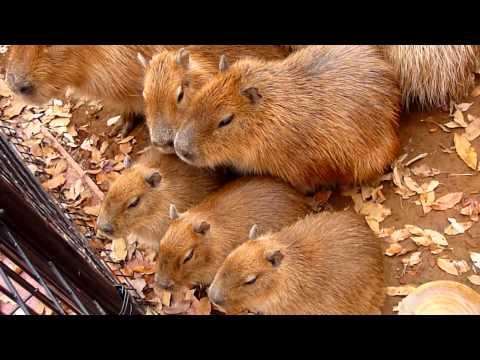 カピバラの「寒いし、そろそろ小屋に帰りたいなぁ」(capybara)