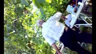 niksar şahinli köyü palanın düğünü