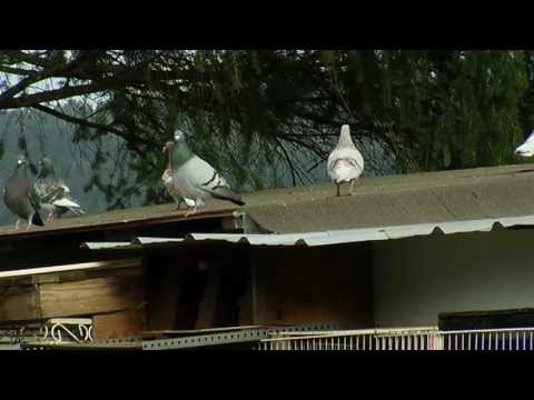 The Sport of Pigeon Racing - Shaw TV Duncan