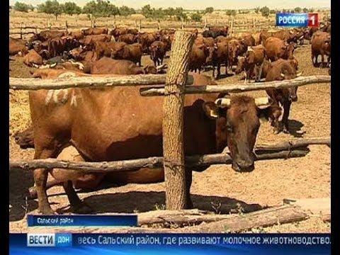 В Сальском районе добились высоких результатов в молочном животноводстве