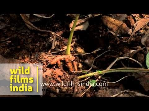 Turmeric plant with roots