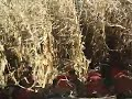 Harvesting corn at Griffin&#039;s