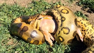 Anaconda Eats a Pig