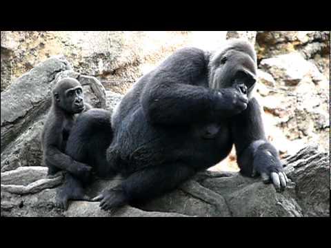 2011年7月26日の上野動物園のゴリラの赤ちゃん。Cute baby gorilla Komomo.