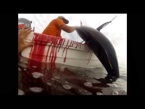 big tuna fishing in Peru  2014 by nspe