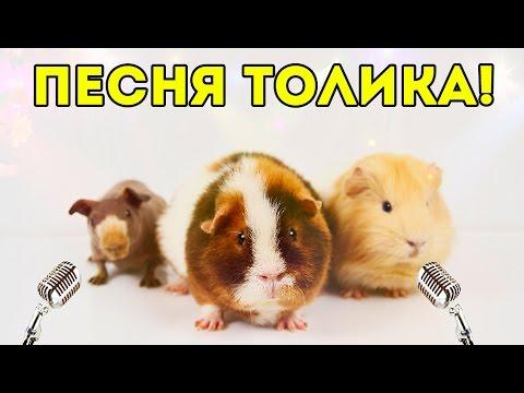 ПЕСНЯ! Морская Свинка Толик Поет: Как Тяжело Быть Свиньей