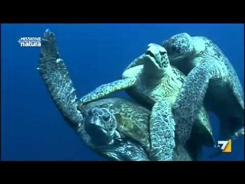 Missione natura 10 07 2011 le tartarughe marine youtube for Accoppiamento tartarughe
