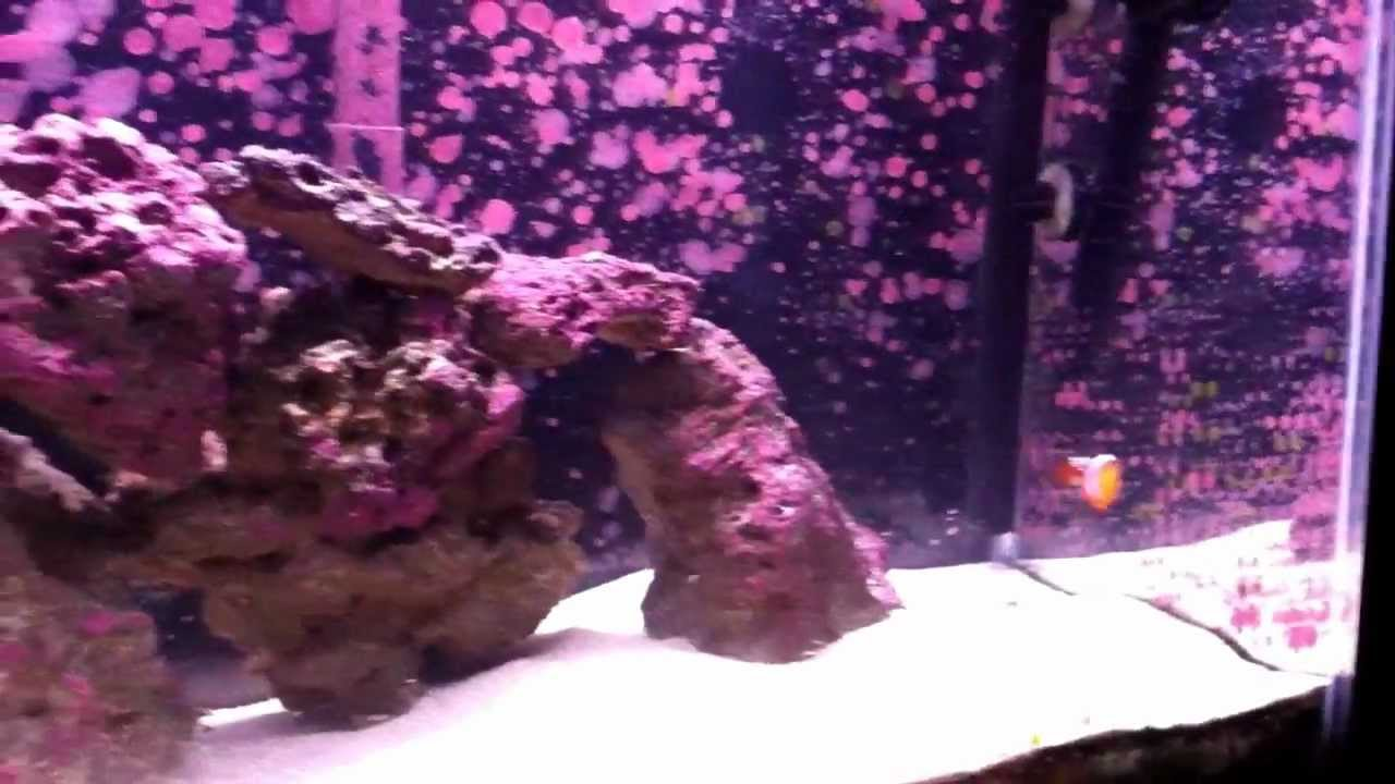 Coralline algae growth youtube for How to remove algae from fish tank glass