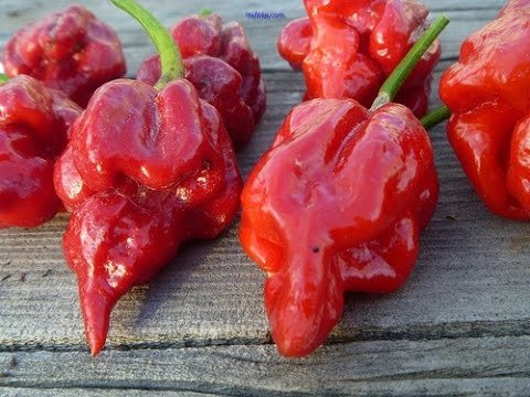 Easy Ghost Pepper Hot Sauce Recipe Bhut Jolokia