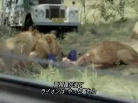 leones comiendo hombre
